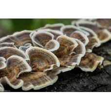 Экстракт гриба Траметес  разноцветный /  Trametes Versicolor 10 к 1