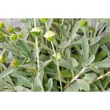 Малотира Критская (железница сирийская, горный чай) / Sideritis syriaca